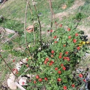 jardinons ensemble coquelicots